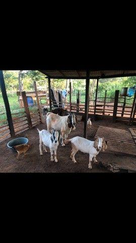 Bodes e cabras de qualidade. Tenho um reprodutor