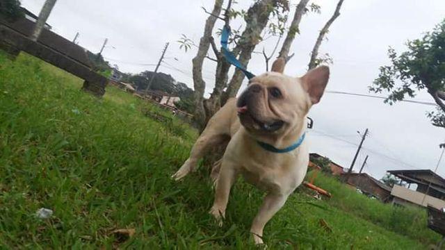 Bulldog Francês  (Procura namorada para cobertura) - Foto 3