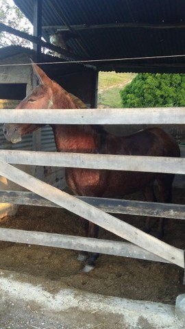 Vendo excelente burro de patrão Aceito mangalarga marchador  na troca  - Foto 4