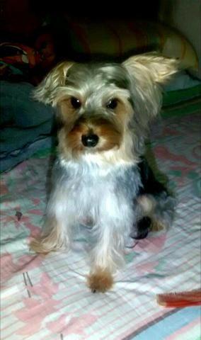 Procuro uma namorada raça yorkshire terrier