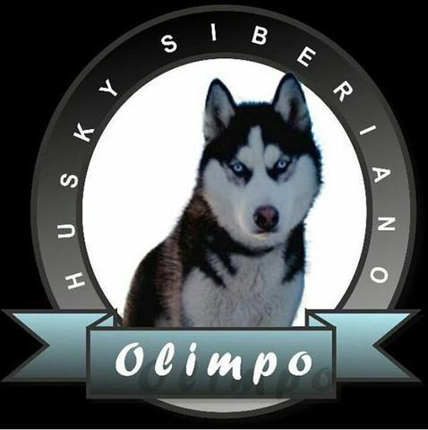 Husky siberiano wolly - Foto 6