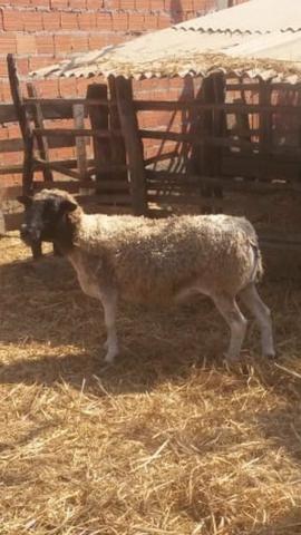 Ovelhas - Foto 4