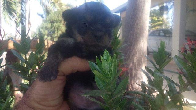 Filhotes de YORKshaire terrier anão de bolsa - Foto 2