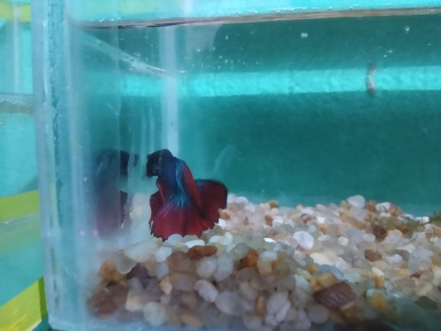"""Halfmoon bicolor,BB gigante de 4 meses, e um """"vovô"""" selvagen .  - Foto 5"""