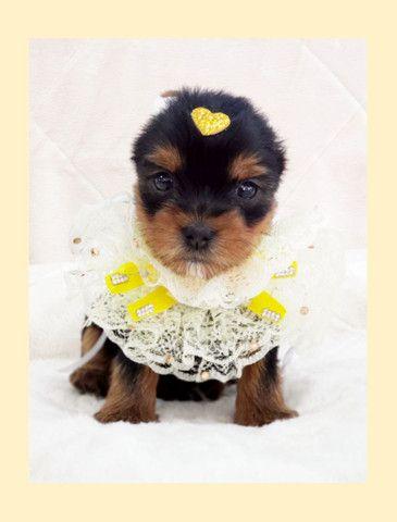 Filhote de yorkshire mini fêmea disponível para entrega - Fotos reais - Foto 3