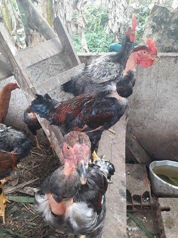 Vendo galos, em Guapimirim,  telefone * - Foto 3