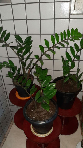 Vende planta