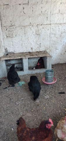 galinhas - Foto 3