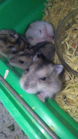 Vendo filhotes de hamister  - Foto 3