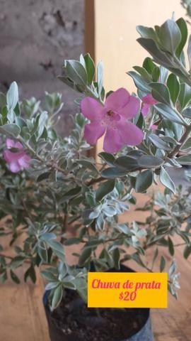 Plantas ornamentais e rosas do deserto - Foto 3