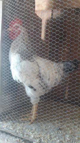 Vendo frangos - Foto 3