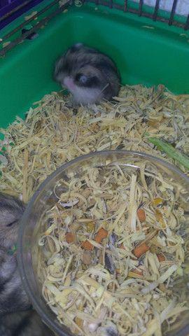 Vendo filhotes de hamister  - Foto 2