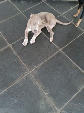 Pitbull 3 meses de idade