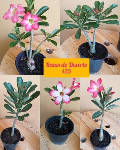 Plantas ornamentais e rosas do deserto - Foto 2