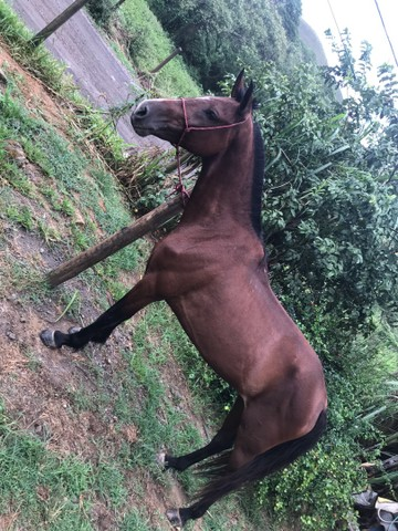 ??Vendo ou troco égua!!!!!!!!?  - Foto 2