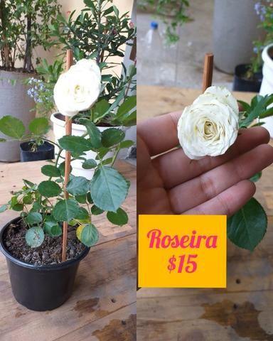 Plantas ornamentais e rosas do deserto - Foto 5