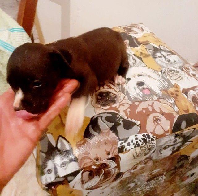 filhotes pitbull venda! - Foto 4