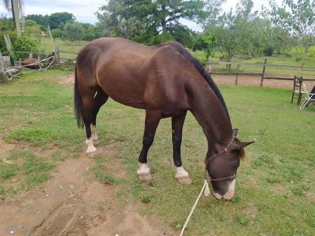 Cavalo Percheron com Crioulo - Foto 2
