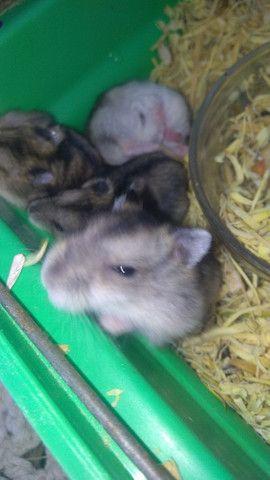 Vendo filhotes de hamister  - Foto 4
