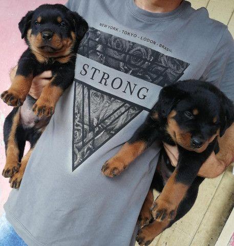 Vendo 2 filhotes de rottweiler fêmeas