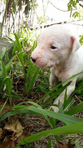 Dogo argentino - Foto 2