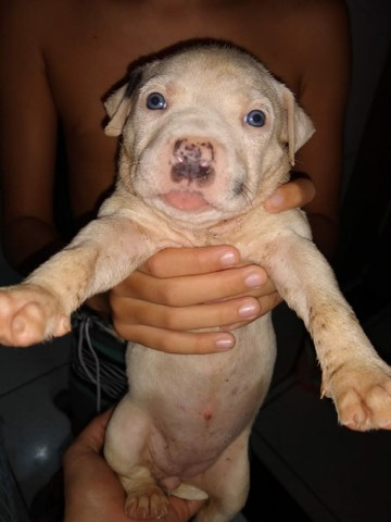 Vendo filhote de pit bull América bull  - Foto 5