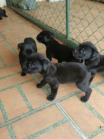 Cane corso ( filhotes disponíveis)