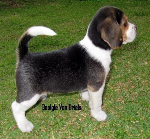 Beagle Beagle filhotes