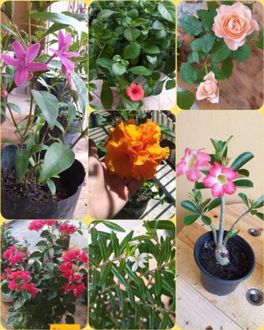 Plantas ornamentais e rosas do deserto
