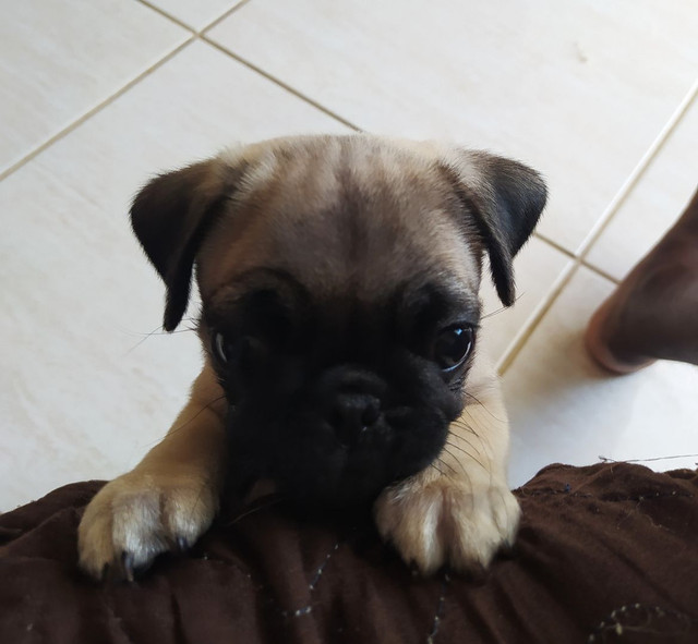 Filhote de pug  - Foto 3