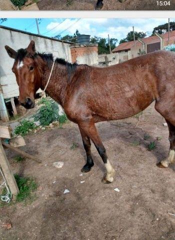 Égua mestiça paulista  - Foto 2