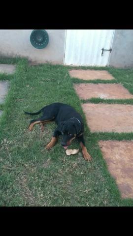 Procuro Namorada Rottweiler Puro - Foto 4