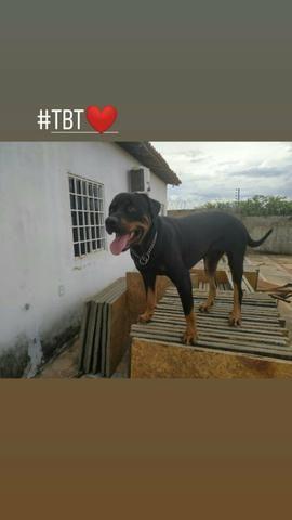 Procuro Namorada Rottweiler Puro - Foto 2