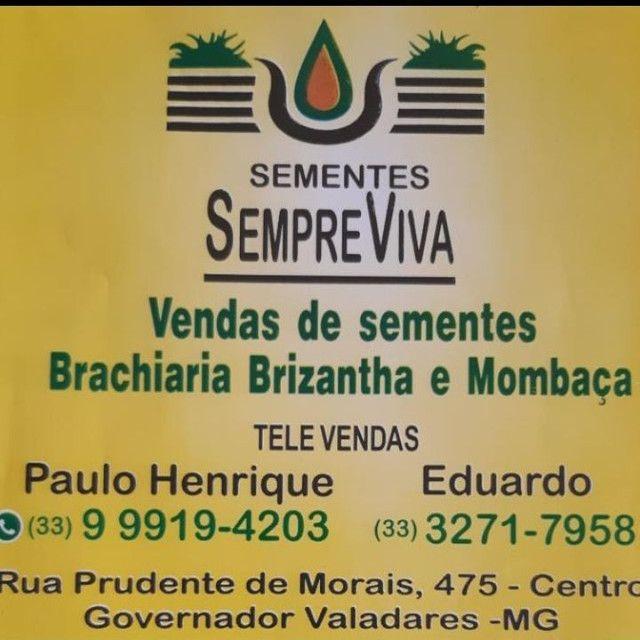 Sementes de Brachiaria brizantha marandu e mombaça