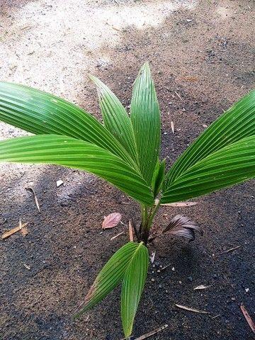 Muda de coqueiro - Foto 2