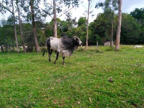 Boi Nelore 750 kg peso vivo. Preço R3.500,0
