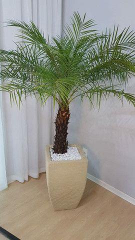 Palmeira fênix natural com vaso