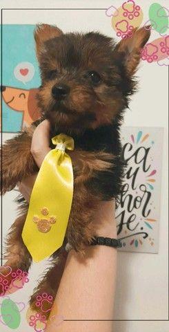 Perfeito Filhote de Yorkshire Terrier *2 doses de vacina *Garantia de saúde * Pedigree - Foto 3
