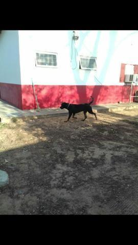 Procuro Namorada Rottweiler Puro - Foto 3