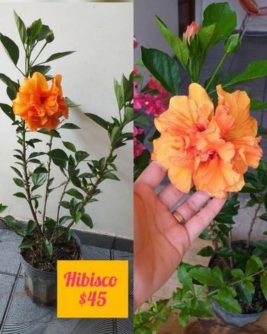 Plantas ornamentais e rosas do deserto - Foto 4