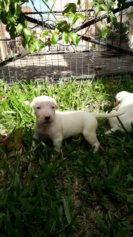 Dogo argentino - Foto 3