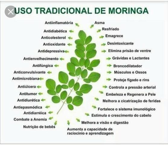 Mudas de Moringa Oleifera - Produção Rural - Boqueirão, Saquarema 622875738  | OLX