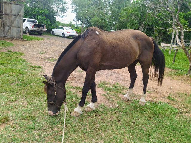 Cavalo Percheron com Crioulo