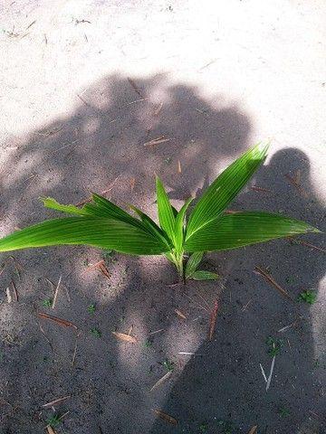 Muda de coqueiro