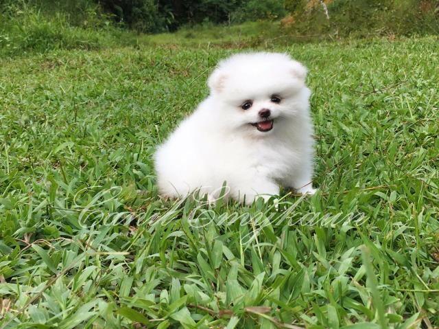 Lulu da pomerânia - branco de linhagem importada - Foto 2