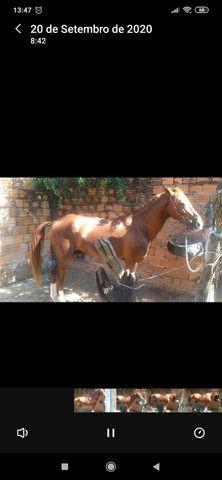 Cavalo mestiço(mangalarga com comum), marchador