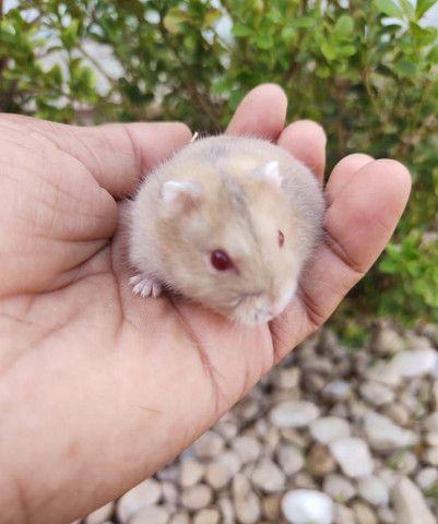 Hamster Anões Russos - Foto 6