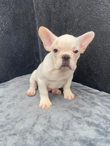Bulldog frances macho branco - Foto 3