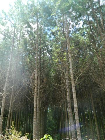 Floresta de Pinus - Foto 11