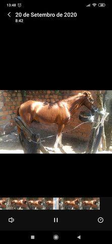 Cavalo mestiço(mangalarga com comum), marchador - Foto 3